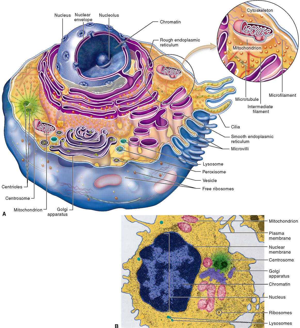 Anatomy of Cells | Basicmedical Key