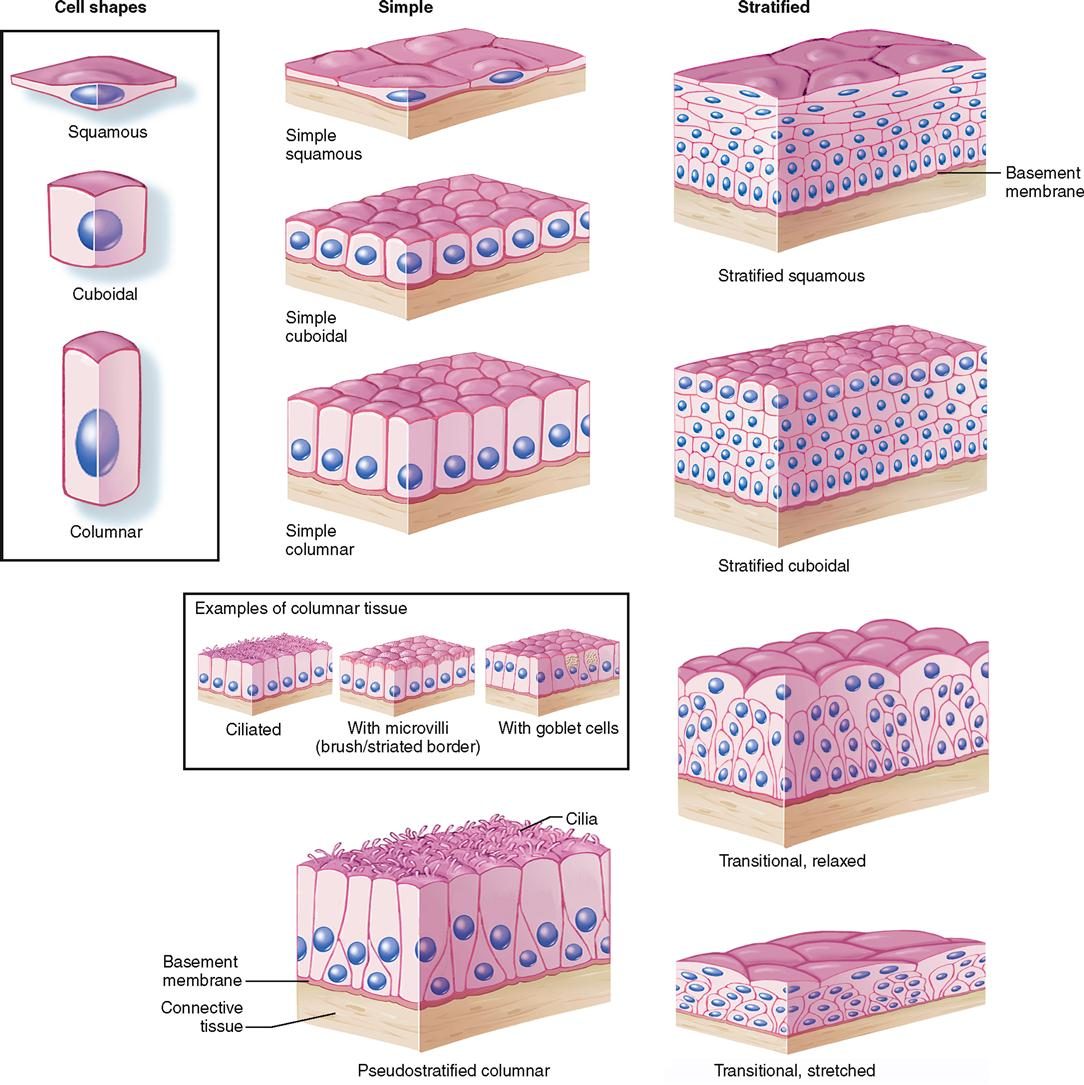 epithelial tissue classification Let us learn about the types of epithelial tissue when you talk about cells, the first thing that should come to your mind, as biology students is.