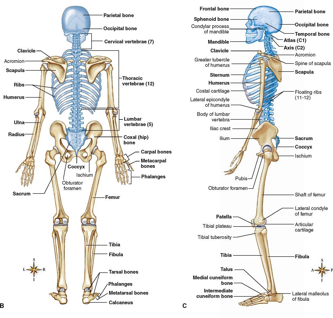 skeletal system basicmedical key