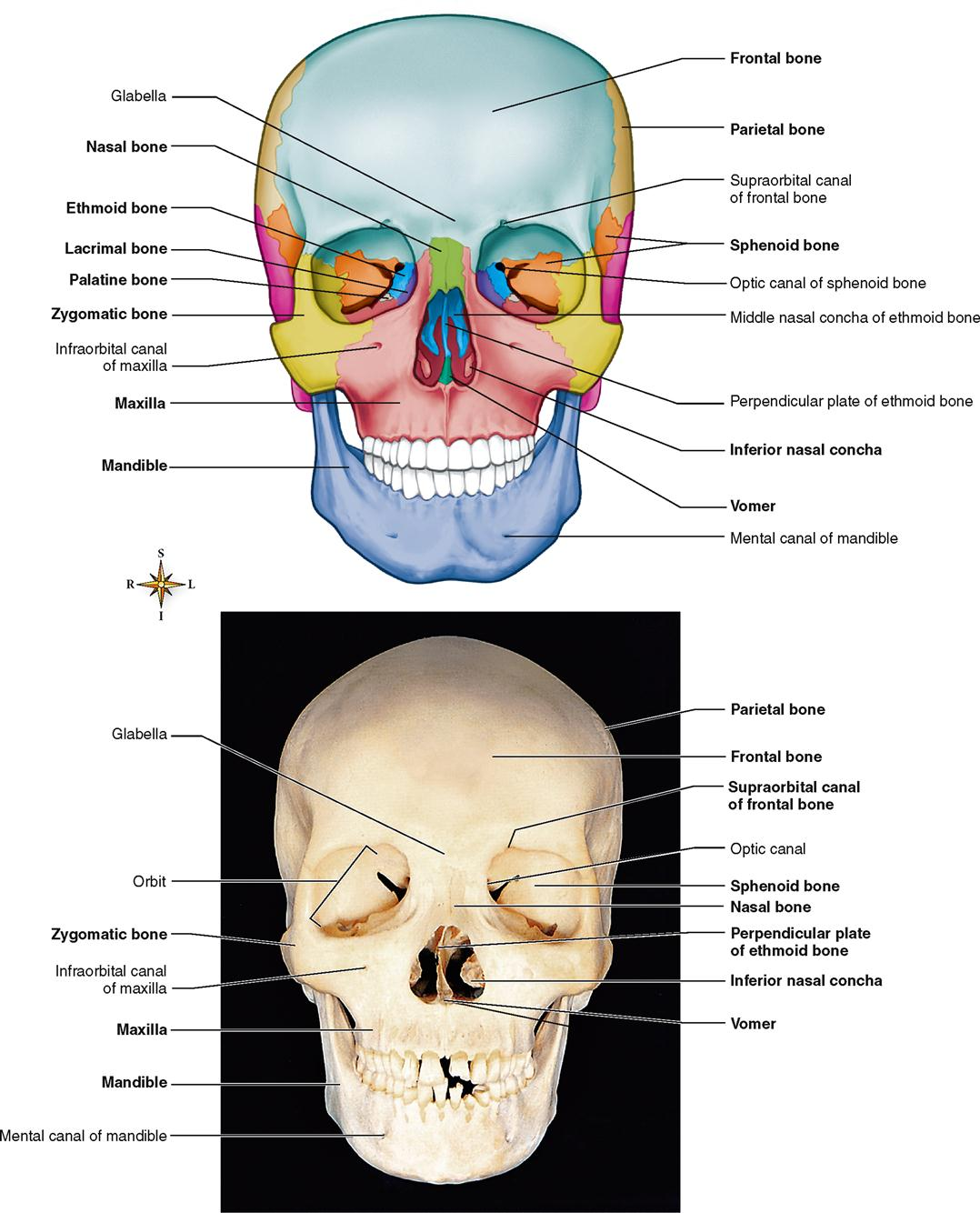 Skeletal System Basicmedical Key