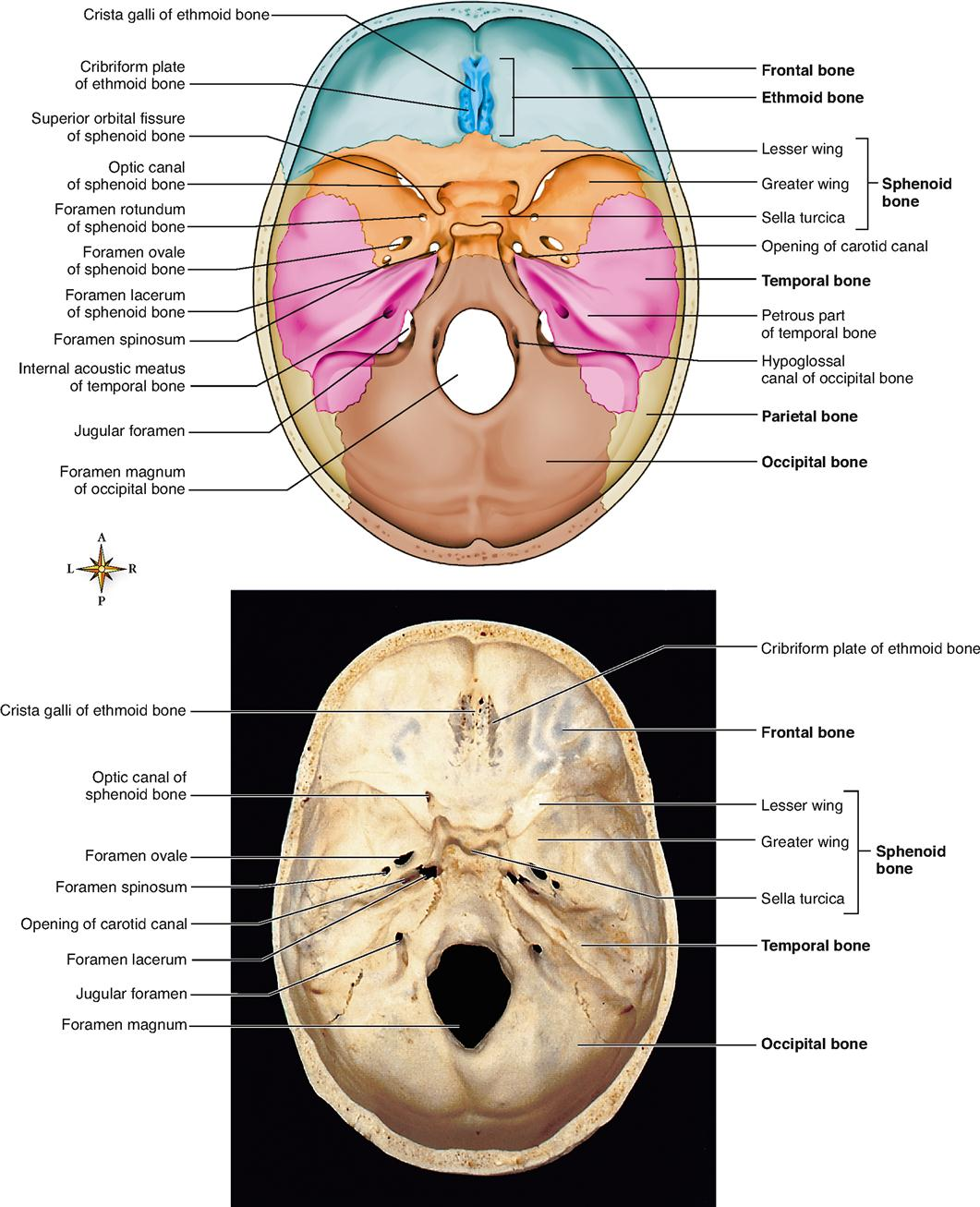 FIGURE 9 4 Floor Of The Cranial Cavity Viewed From Above.