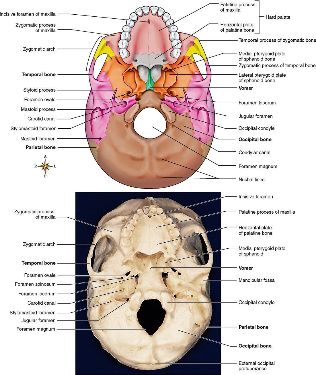 Floor Of The Cranial Cavity Viewed From Above Game