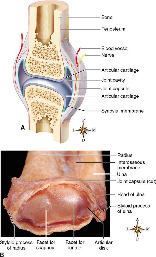 Articulations Basicmedical Key