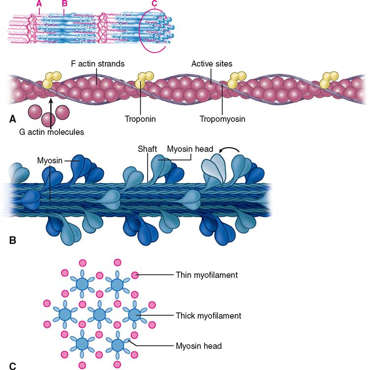 What is the tropomyosin molecule held in place by when at rest?