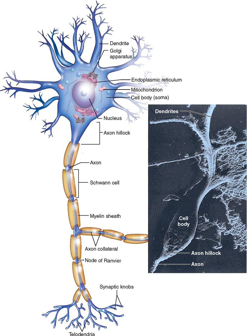 easy diagram of the nervous system diagram of the lungs in the body nervous system cells basicmedical key