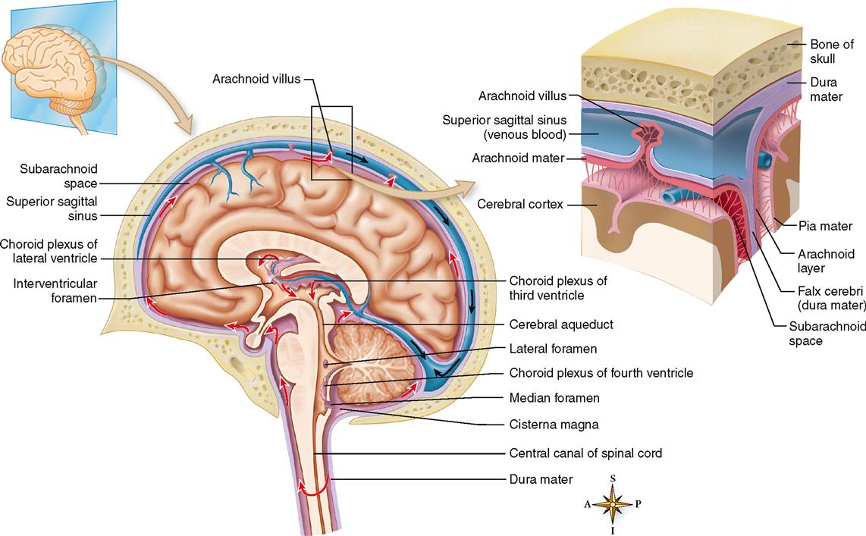 Central Nervous System | Basicmedical Key