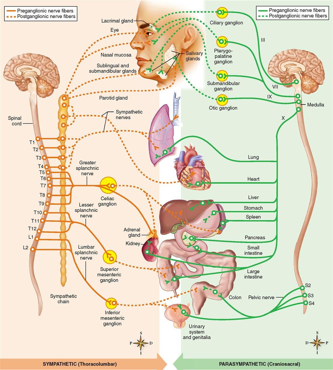 Autonomic Nervous System | Basicmedical Key