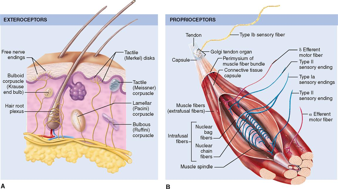 Sense Organs Basicmedical Key