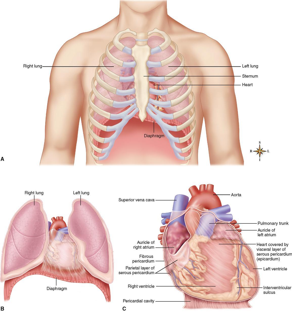 Anatomy Of The Cardiovascular System Basicmedical Key