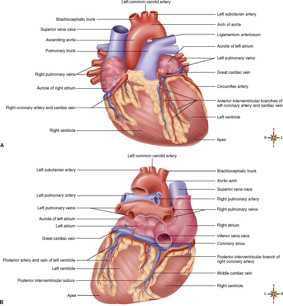 Anatomy of heart vessels