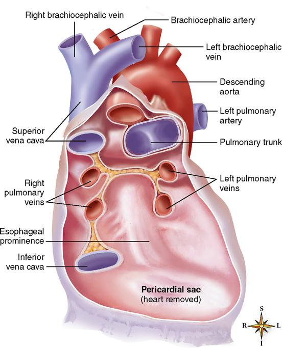 Anatomy of the cardiovascular system basicmedical key frontal view diagram showing cut pericardial sac with heart removed notice that the pericardial sac attaches to the large vessels that enter and exit the ccuart Gallery