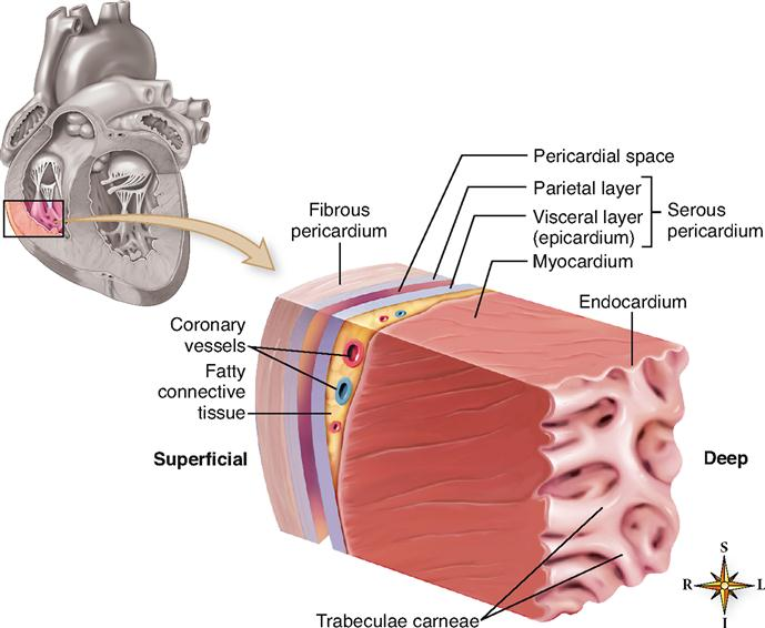 Anatomy of the cardiovascular system basicmedical key figure 21 5 wall of the heart the cutout section of the heart wall shows the outer fibrous pericardium and the parietal and visceral layers of the serous ccuart Image collections