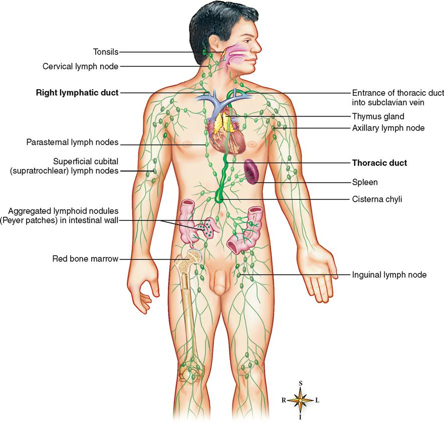 Lymphatic System Basicmedical Key