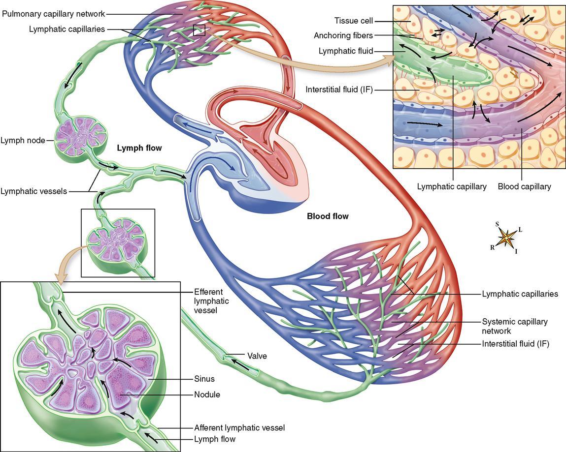 Lymphatic system anatomy