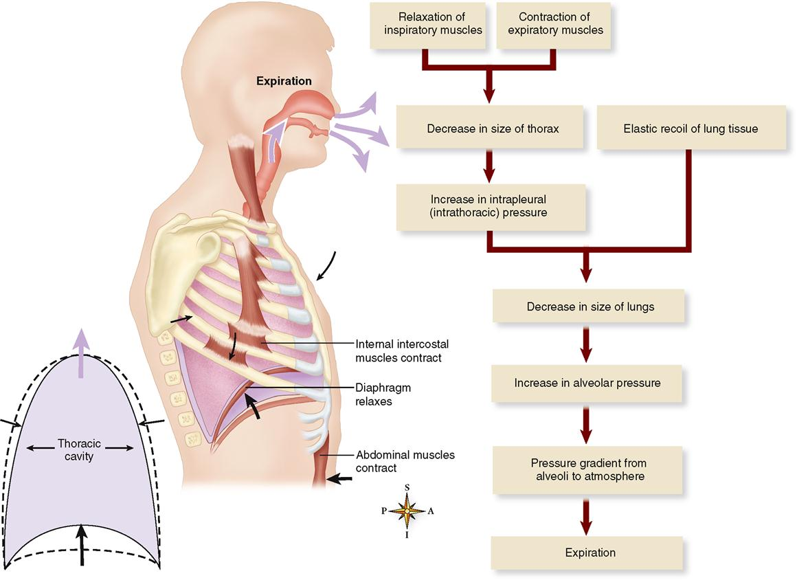 Physiology of the Respiratory System | Basicmedical Key