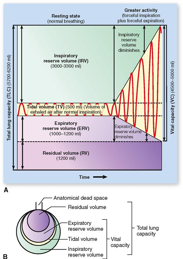 Physiology of the respiratory system basicmedical key figure 27 11 pulmonary ventilation volumes and capacities a spirogram b pulmonary volumes at rest represented as relative proportions of an inflated ccuart