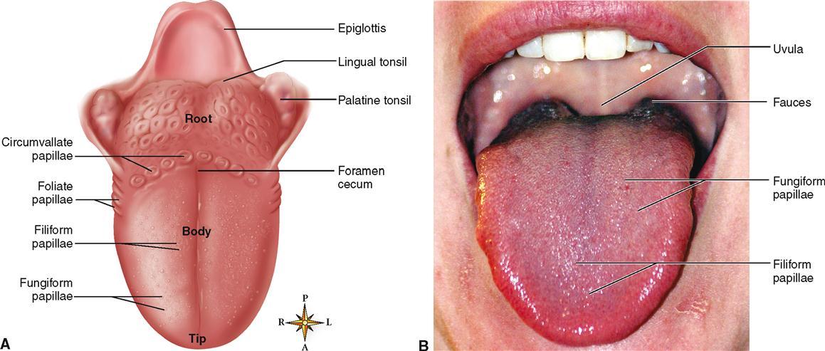 F F on Dorsal Tongue Anatomy