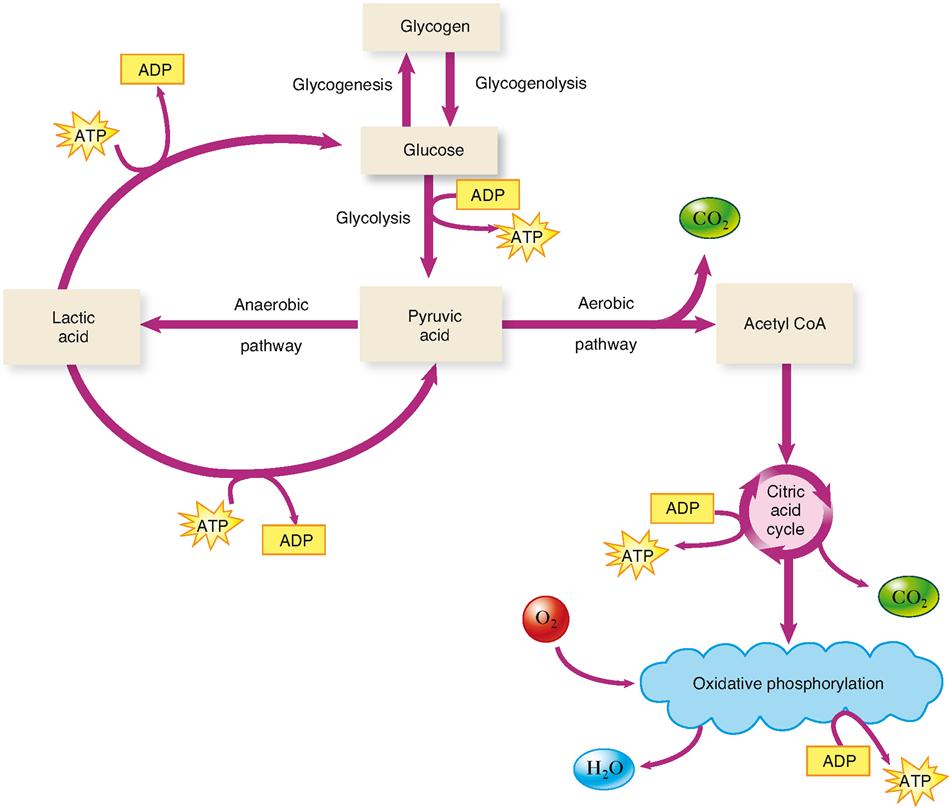 the process of glycolysis Glycolysis is a process that all organisms undergo and therefore the most fundamental and primitive of all energy production systems simplified explanation [ edit ] glycolysis is a series of steps cells go through to transform sugar into energy that the cell can use.
