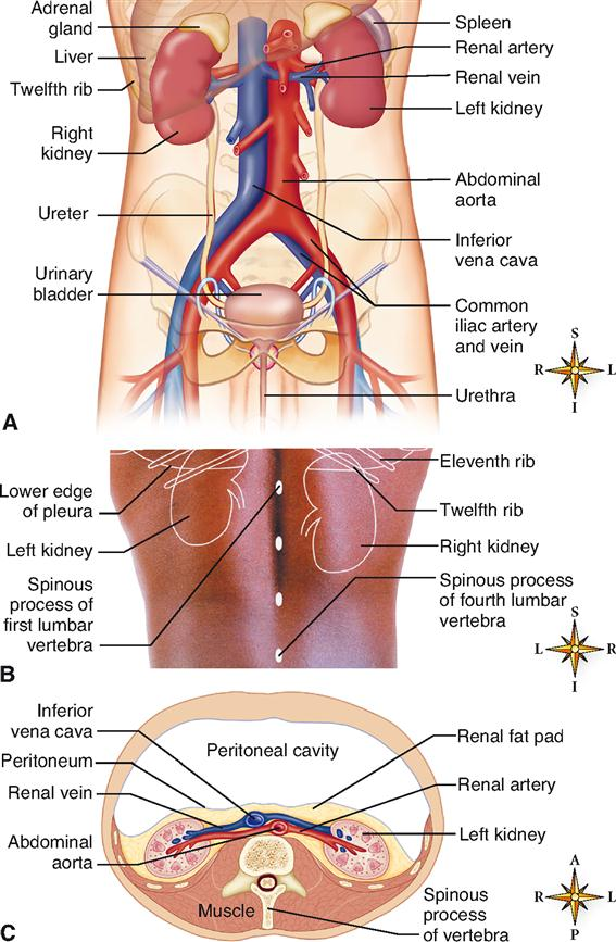 Urinary system basicmedical key figure 31 1 location of urinary system organs a anterior view of the urinary organs with the peritoneum and visceral organs removed ccuart Image collections
