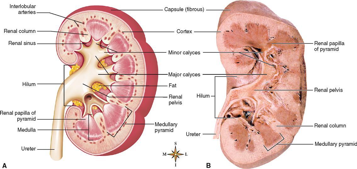 Coronal Cut Of Kidney In Body Diagram Diy Wiring Diagrams