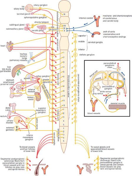 autonomic nervous system pharmacology pdf