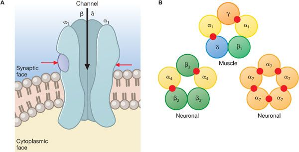 Agents Acting at the Neuromuscular Junction and Autonomic ...
