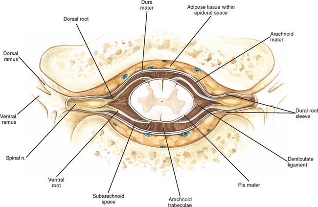 Transverse Section Of Spinal Cord Showing Meninges 28