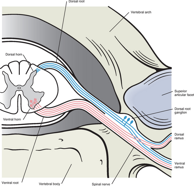 General Anatomy Of The Spinal Cord Basicmedical Key