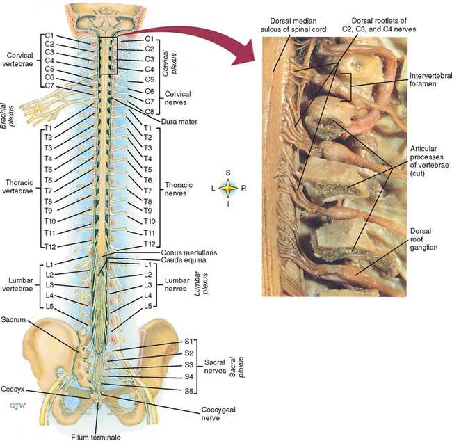 General Anatomy Of The Spinal Cord Basicmedical Key Notice that the spinal cord is a long thin structure whose thickness varies from caudal to rostral. general anatomy of the spinal cord
