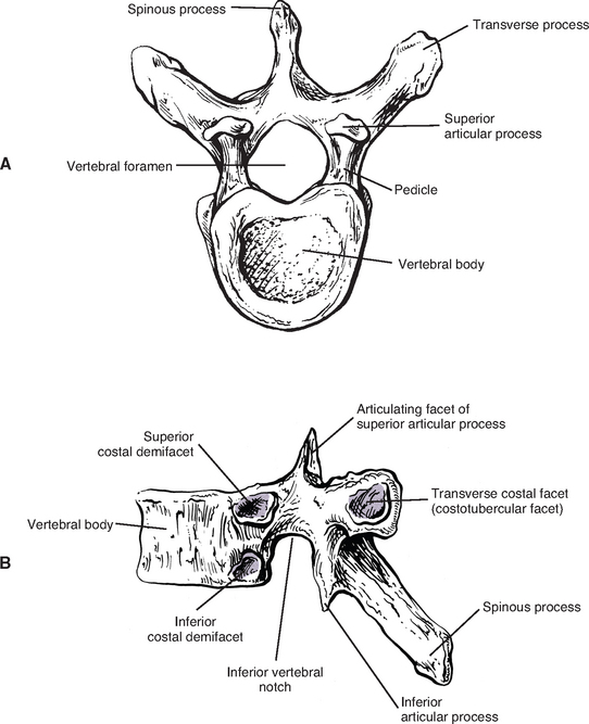 Diagram Of A Typical Thoracic Vertebrae Diy Enthusiasts Wiring