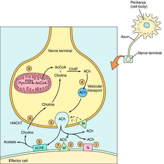 Drugs Affecting the Parasympathetic Nervous System and ...