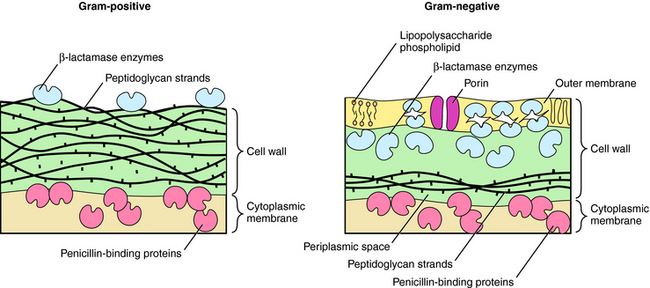 Bacterial cell wall synthesis inhibitors basicmedical key figure 463 outer coating of gram positive and gram negative bacteria gram positive bacteria have a thicker cell wall composed of many 15 to 30 strands ccuart Images