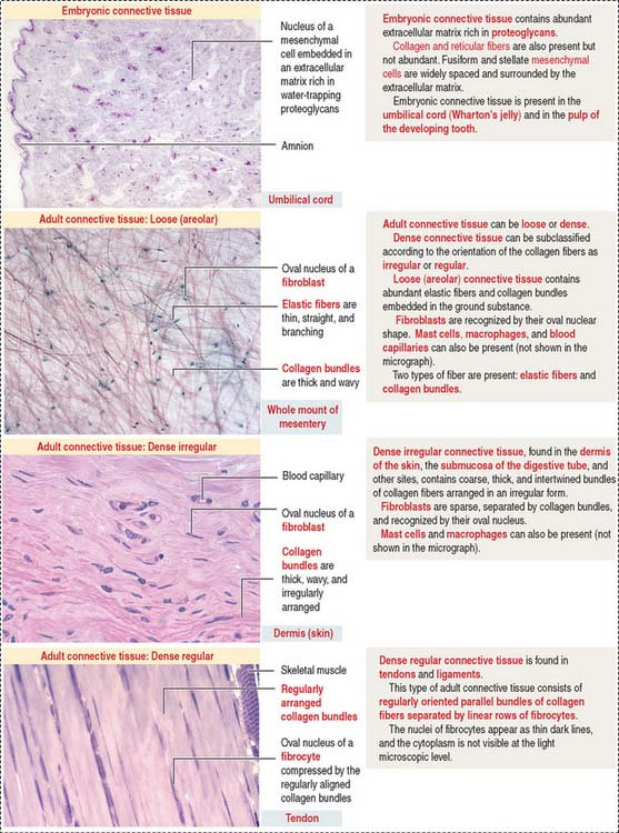 Types Of Connective Tissue Proper