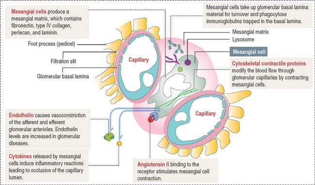 Extraglomerular Mesangial Cells URINARY SYSTEM | Basic...