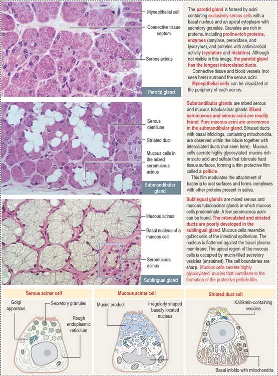 DIGESTIVE    GLANDS   Basicmedical Key
