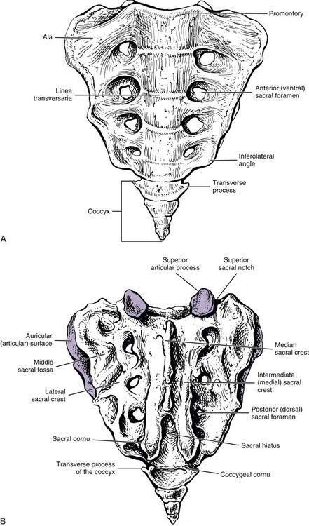 the sacrum  sacroiliac joint  and coccyx
