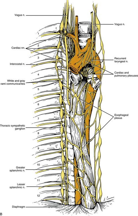 Neuroanatomy Of The Autonomic Nervous System Basicmedical Key