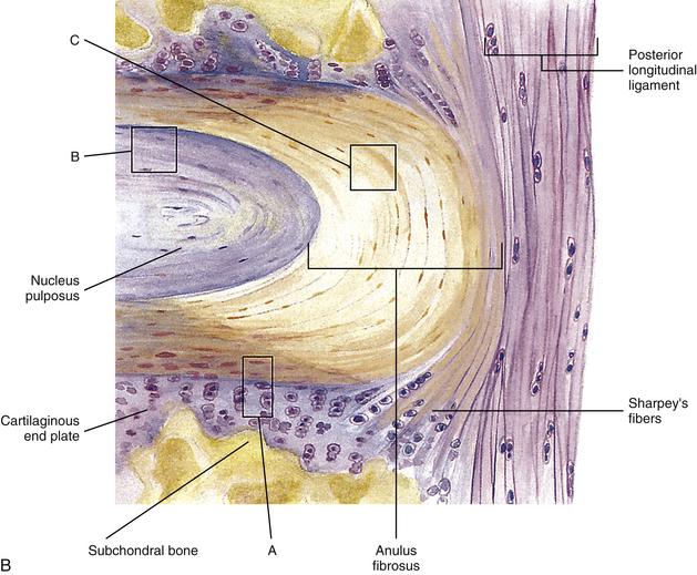 Anatomy of intervertebral disc