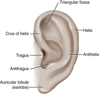 Ear And Mastoid Process Basicmedical Key
