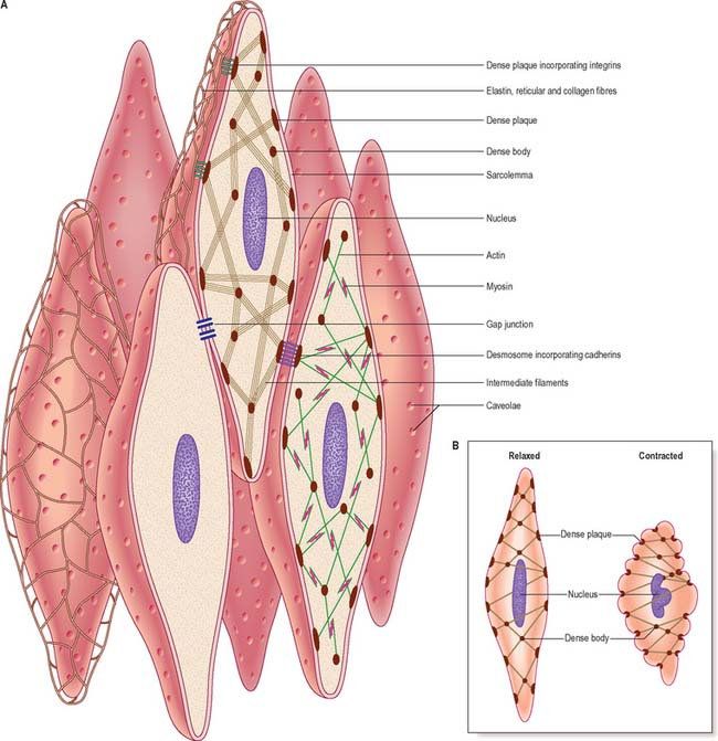 smooth muscle and the cardiovascular and lymphatic systems, Muscles