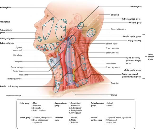 Head And Neck Overview And Surface Anatomy Basicmedical Key