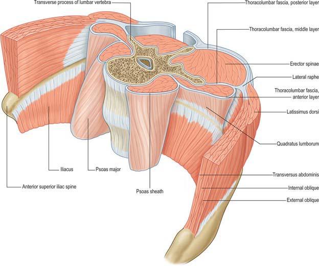 Anterior Superior Iliac Spine Muscle Attachment 18170 Loadtve