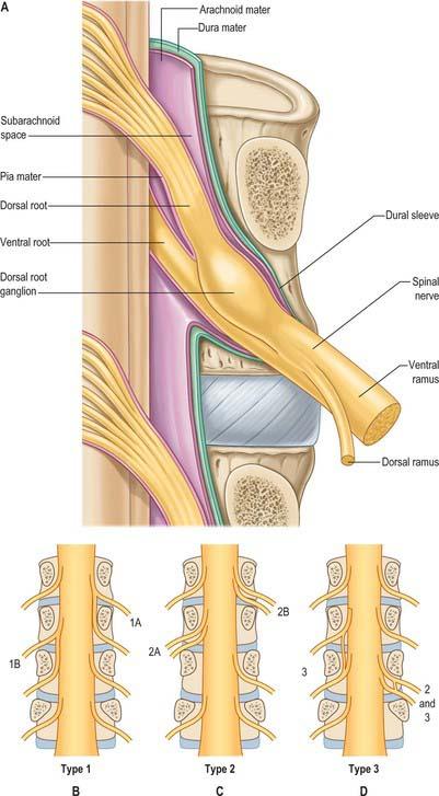 L5 nerve root anatomy