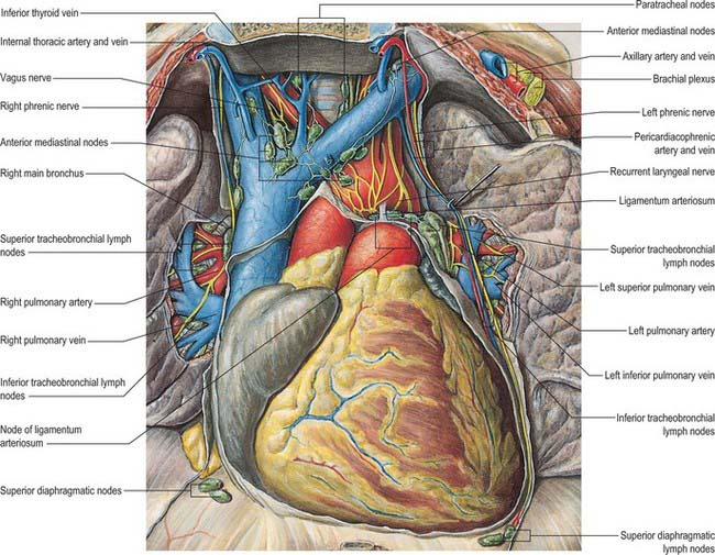 Heart And Great Vessels Basicmedical Key