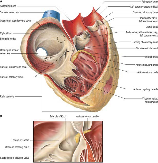 Heart and great vessels | Basicmedical Key