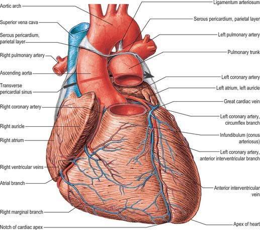 heart and great vessels   basicmedical key, Human Body