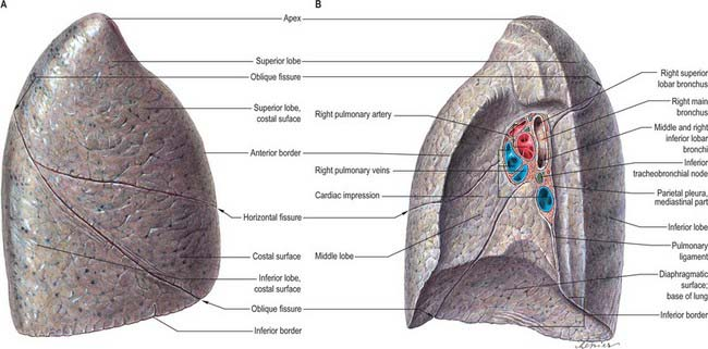 Pleura, lungs, trachea and bronchi | Basicmedical Key