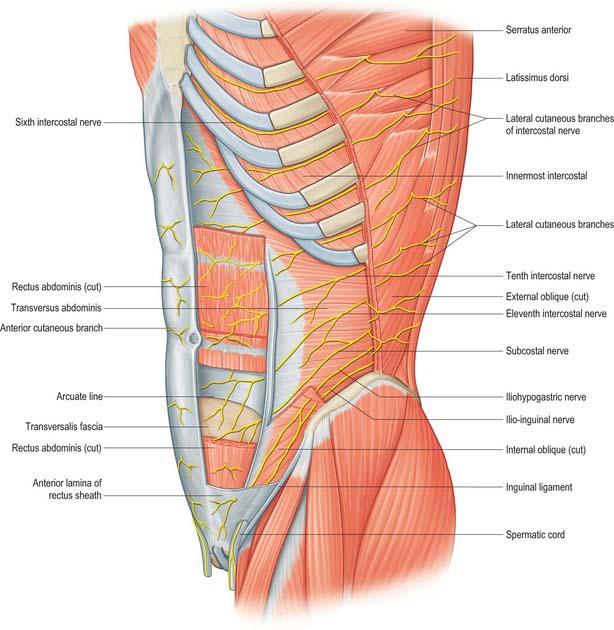 Abdominal wall muscles anatomy
