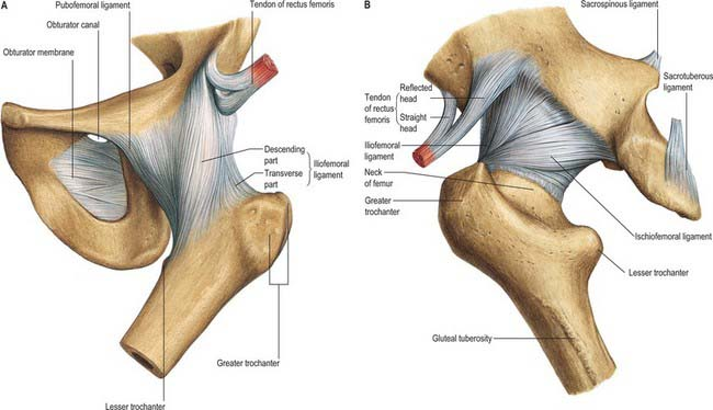 81 3 the ligaments of the hip joint: a, anterior aspect