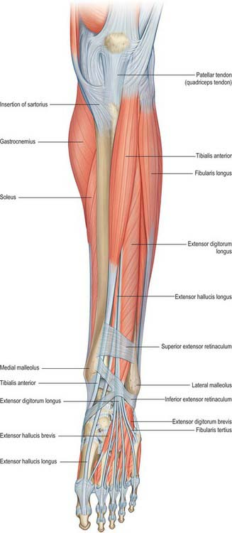 Left leg anatomy 2469415 - follow4more.info